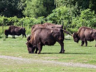 Wood Bison Toronto Zoo