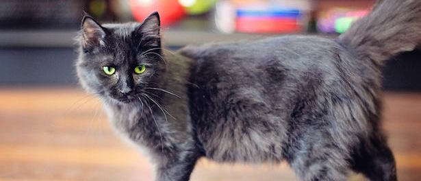 Pippa is available for adoption at the north toronto cat rescue
