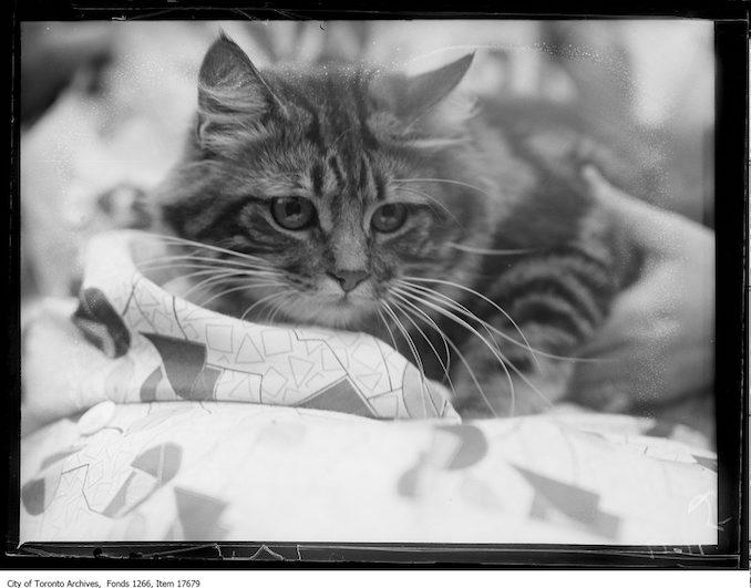 CNE, cat show, [Kiniemuir] Robin, Miss H.M. Elliot, Toronto. - August 27, 1929
