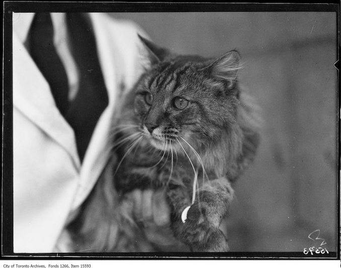 Cat Show, [Bonny] Boy, Mrs. G. L. Graves, Toronto. - January 23, 1929