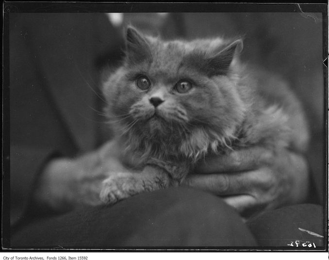 Cat Show, Lady Moonbeam, Mrs. A. G. Crysdale, Toronto. - January 23, 1929
