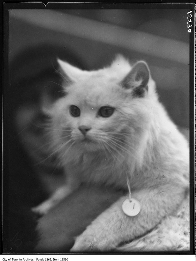 Cat Show, Prince Snowball, Mrs Amy Hall, Toronto. - January 23, 1929