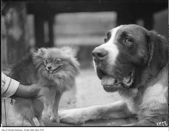 "Exhibition, dogs, ""Nydia"", St Bernard female, W. R. Hibberd, [Pauvale] Ambrigola, Pom, Walkerton, Mrs. J. W. Bruce, Toronto. - September 2, 1924"