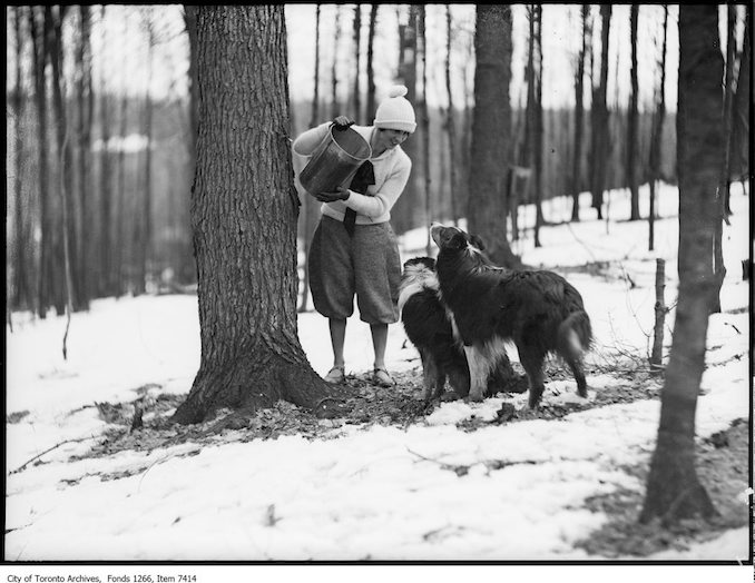 Maple syrup, girls offering dogs drinks of sap. - March 27, 1926