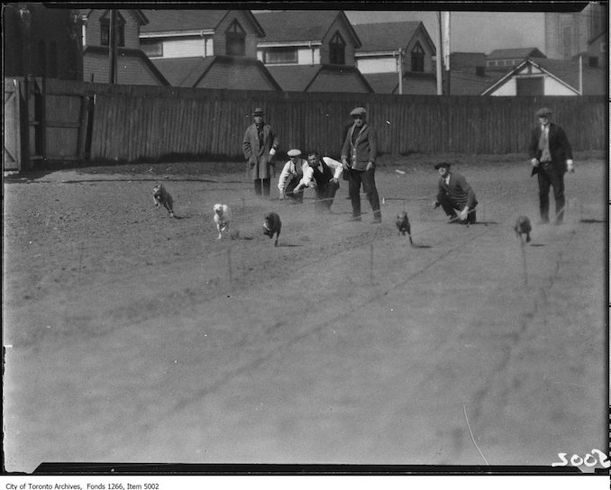 Whippet racing, start, five dogs. - April 18, 1925 - Vintage Animal Photographs
