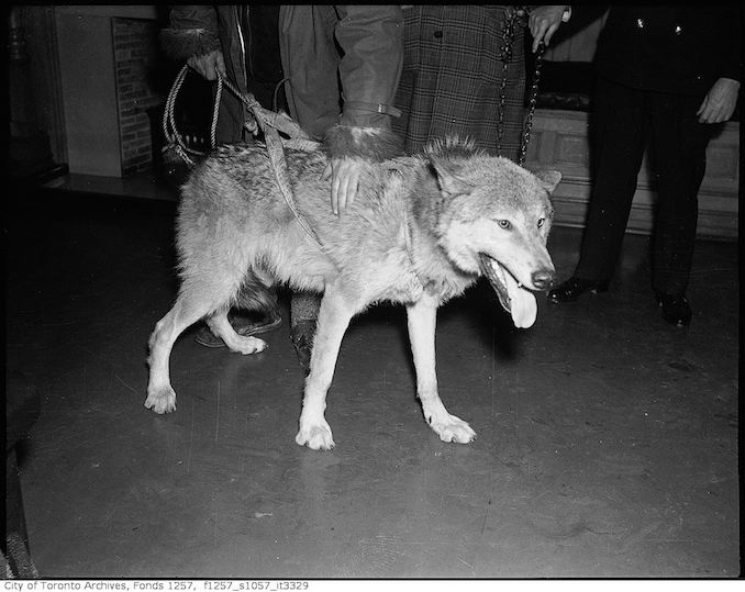 "Wolf brought into government office by Joe La Flamme, ""The Moose Man"" - 194? - Vintage Animal Photographs"