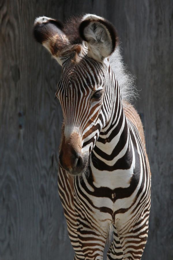 GREVY'S ZEBRA FOAL Credit - C.Thompson, Toronto Zoo