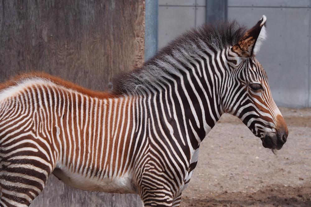 GREVY'S ZEBRA FOAL Credit - K.Haider, Toronto Zoo