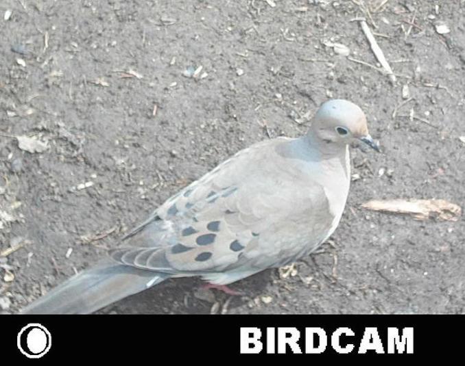 mourning dove bird photo booth winner