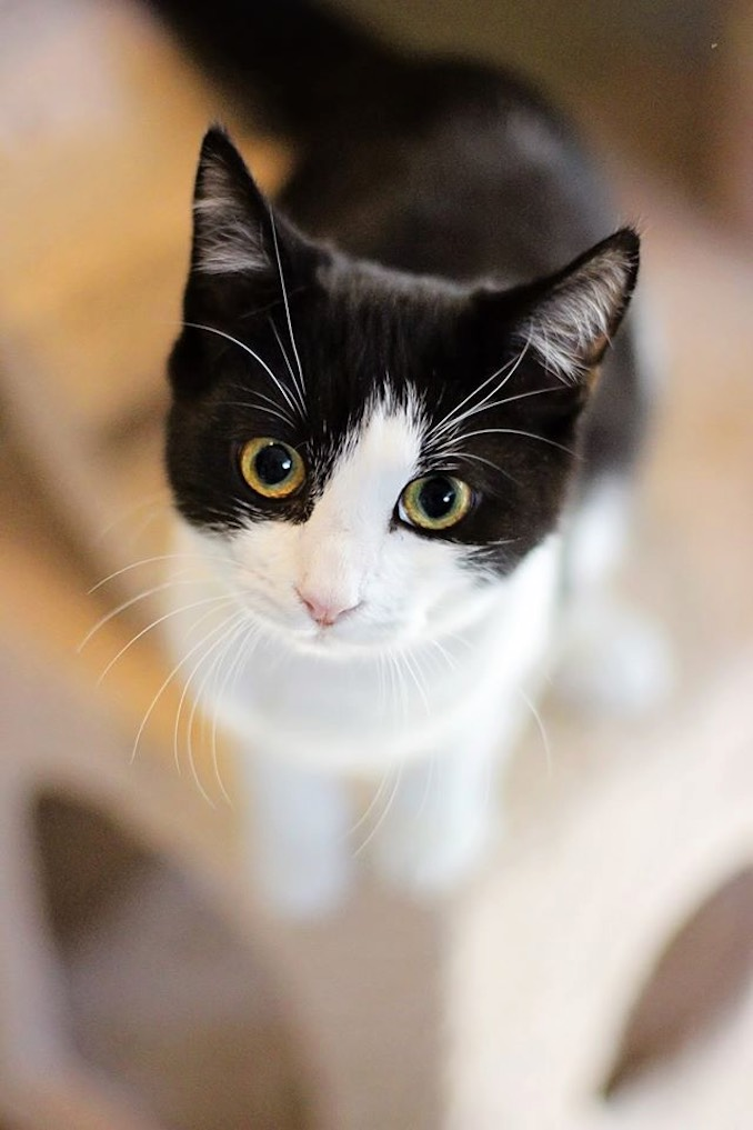 George the cat available for adoption at North Toronto Cat Rescue