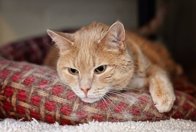 Benson is available for adoption from the North TOronto Cat Shelter which is a no cage and no kill shelter in our city