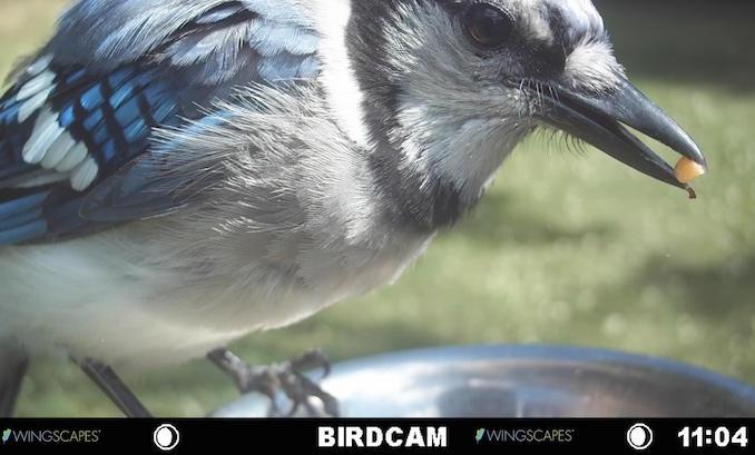 Blue Jay feeding at Archer Dental