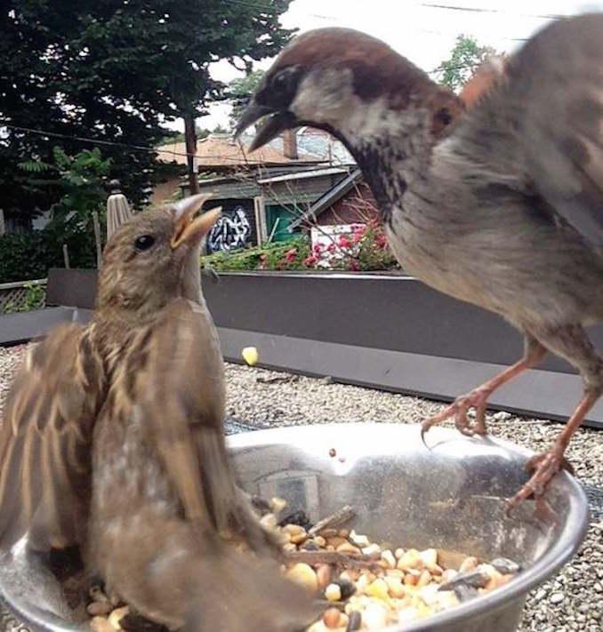 House sparrow on TOUGHROOF