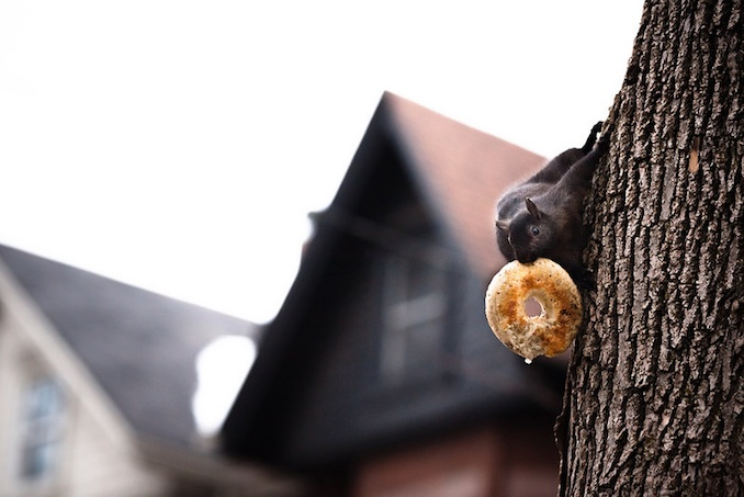 Squirrel takes Bagel in toronto. It's a Canadian thing