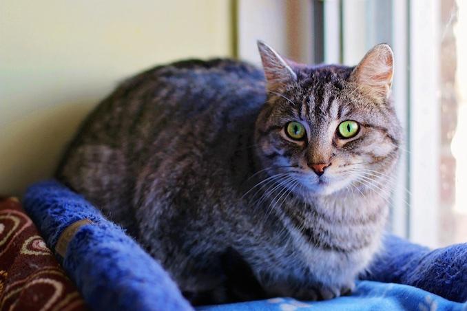 Tabby Cat Grayson