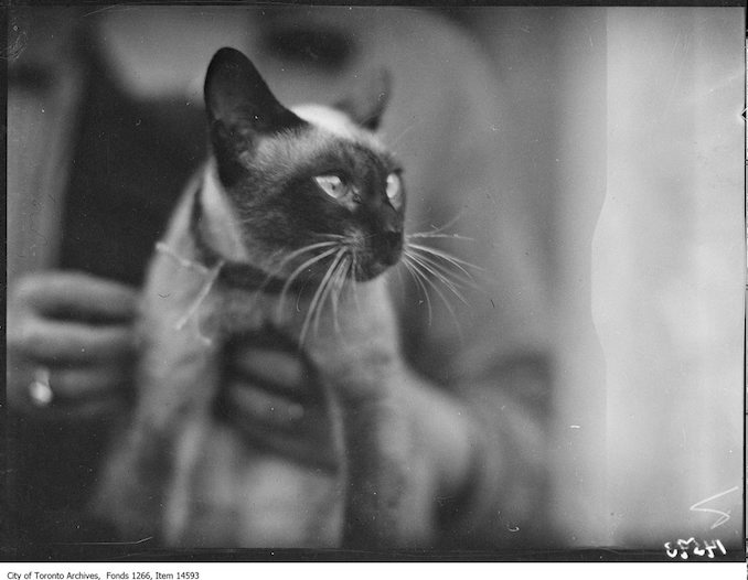 C.N.E., Cats, [Hu Stich], Siamese, Mrs. [Stroud], Toronto. - August 30, 1928