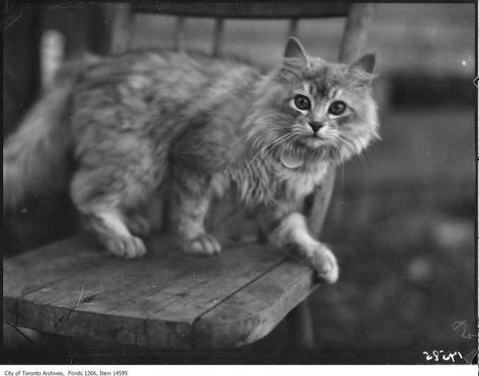 C.N.E., Cats, [Sir Crushing], Persian, Mrs. H. Ainsworth, Toronto. - August 30, 1928
