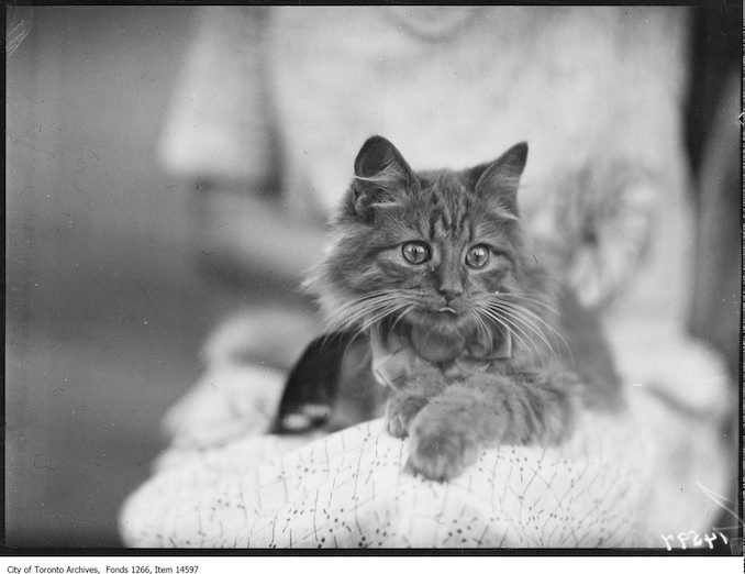 C.N.E., Cats, Sovereign King, Persian, Mrs. [Contandra], Toronto. - August 30, 1928