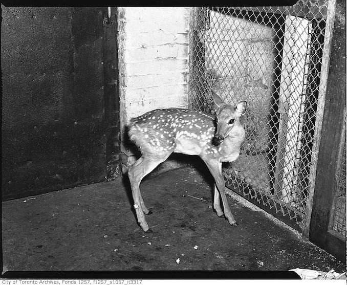 Deer possibly belonging to Joe La Flamme, The Mosse Man 194?
