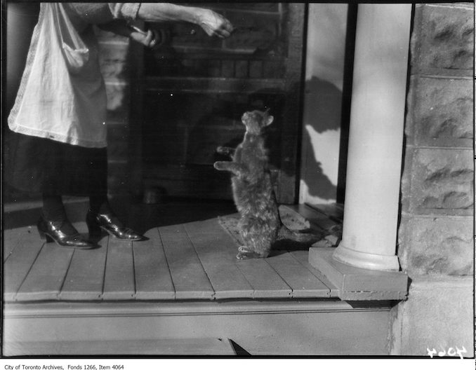 Lakefield, cat reaching for food. - November 10, 1924