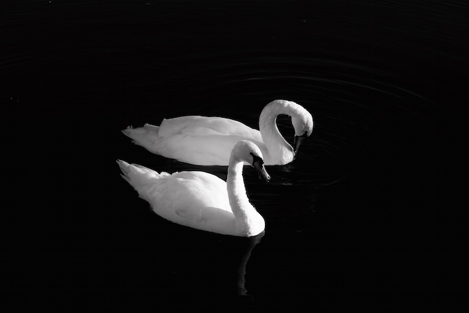 Swans by Andre Dillon