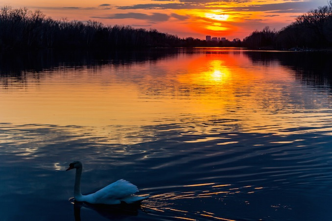 Swan at Sunset by Nicoli OZ Mathews