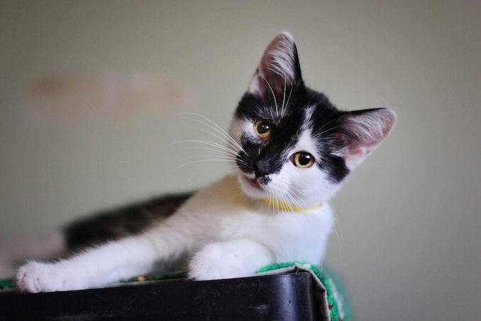 Darcy cat