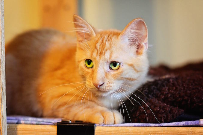 Leo from North Toronto Cat Rescue