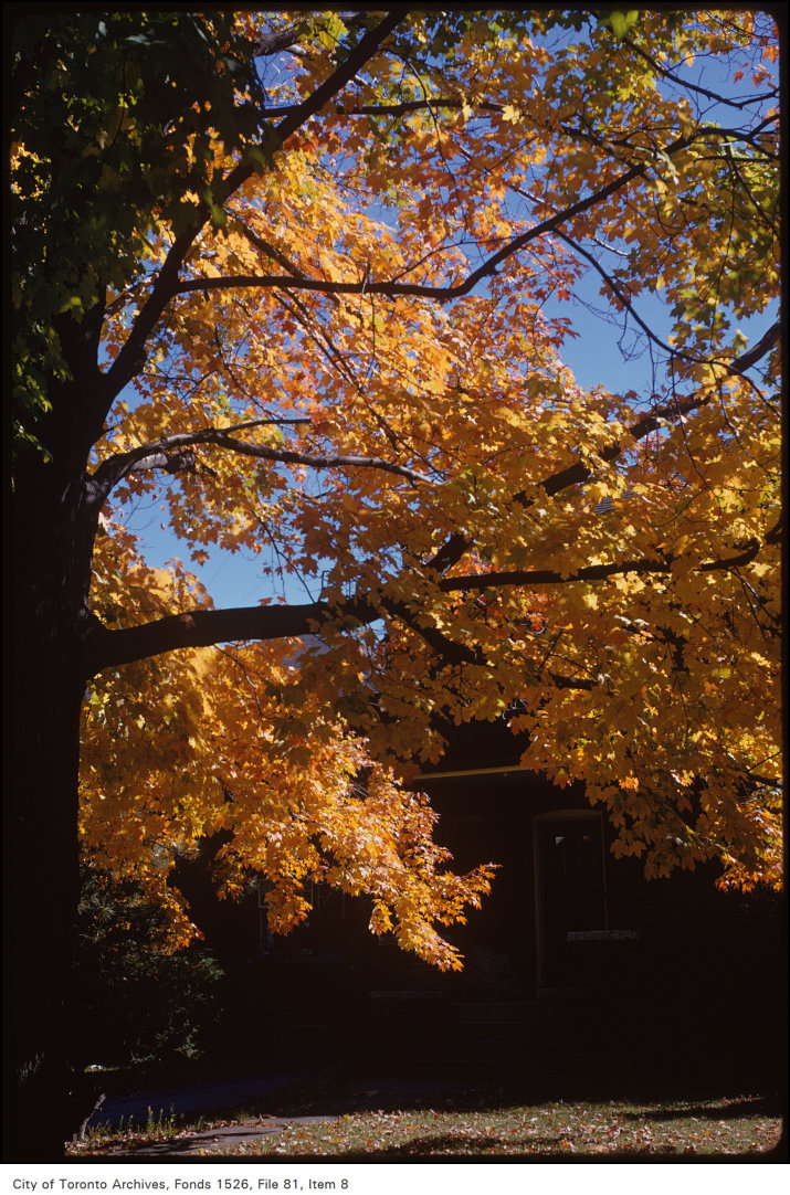 1973 - View of fall trees on Chaplin Crescent