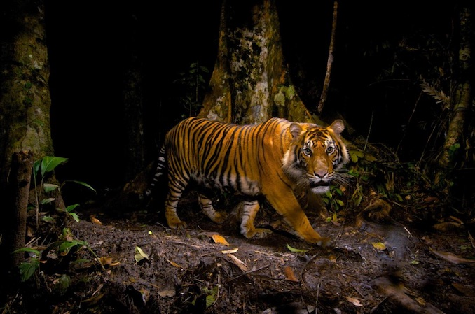 Sumatran tiger while hunting. PHOTOGRAPH BY STEVE WINTER, NATIONAL GEOGRAPHIC CREATIVE