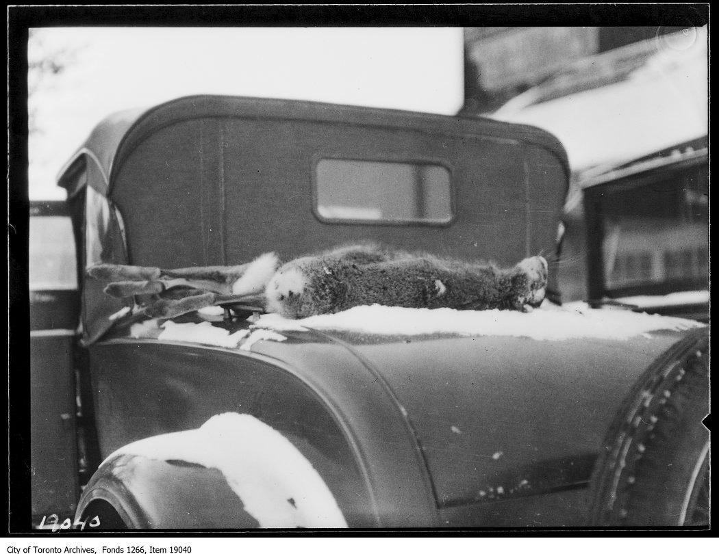 1930 - January 18 - Clarkson rabbit hunt, rabbit on back of car
