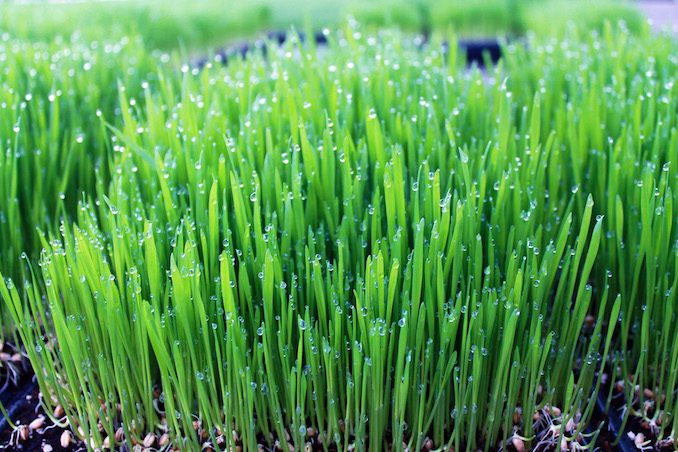 Greenbelt Microgreens Wheatgrass