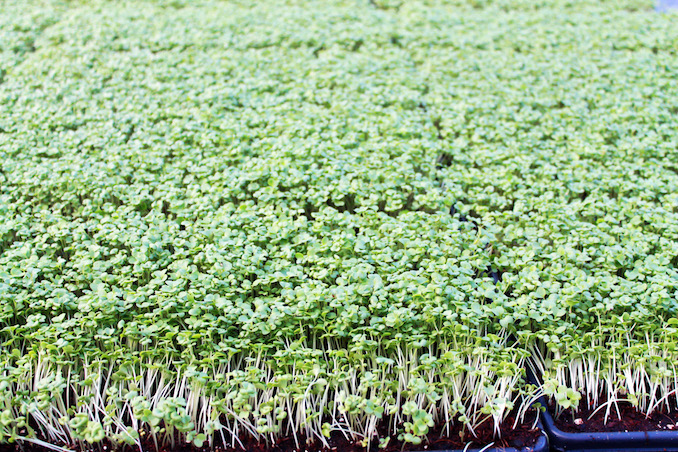 Greenbelt microgreens sunflower sprouts