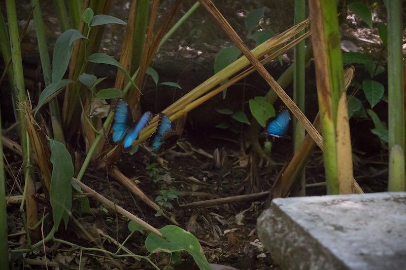 Blue Morpho Butterflie in Montezuma, Costa Rica