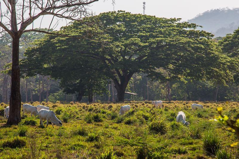 Costa Rica Cows