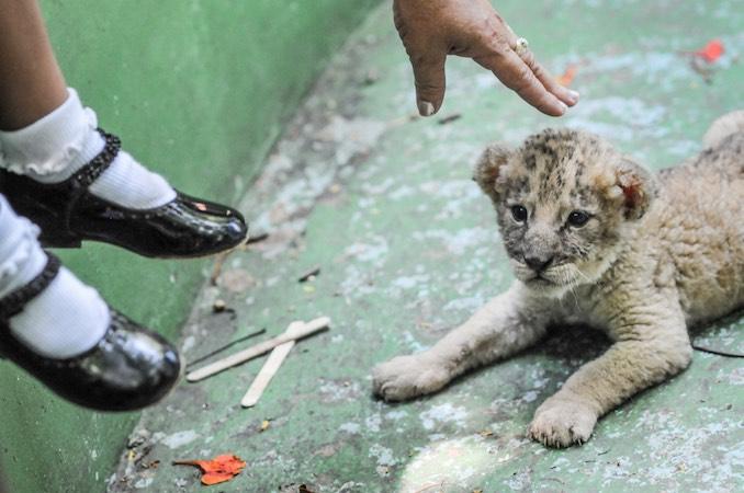 Lion cub, Cuba 2008: Credit: Jo-Anne McArthur