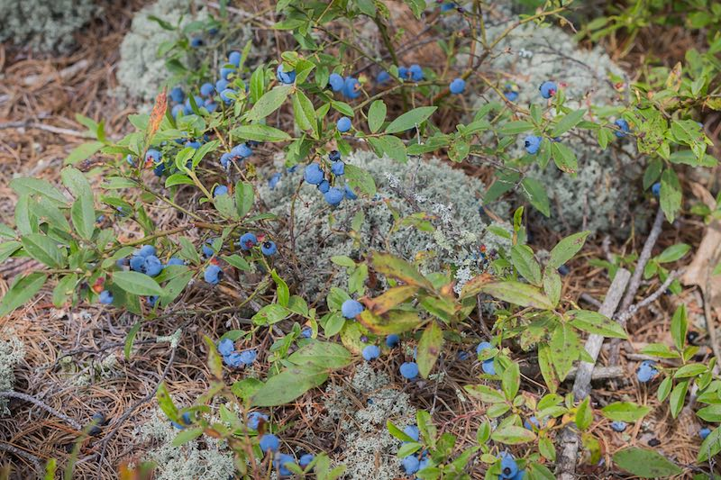French River Blueberries