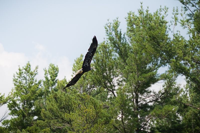 French River Bald Eagle