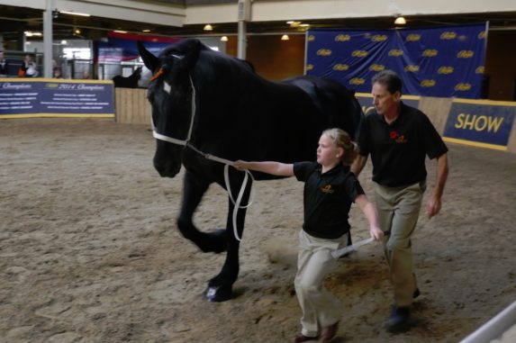 Percherons - Junior equestrians showing stallions at 2017 Horse Show