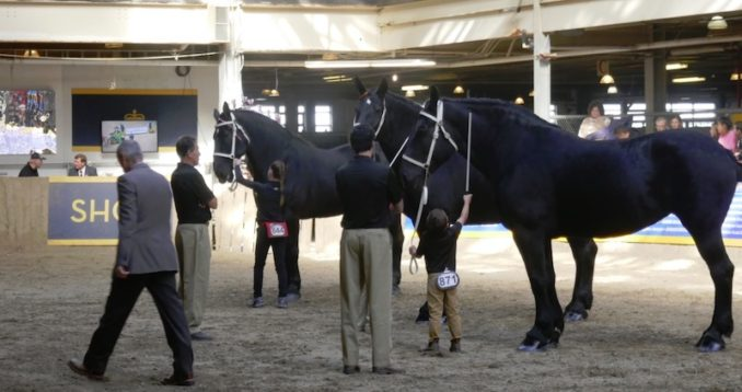 Percheron horses on display at The Royal Winter Fair