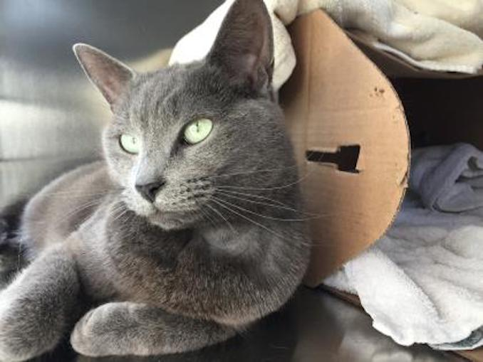 Waddle Dee the cat at toronto humane society in toronto