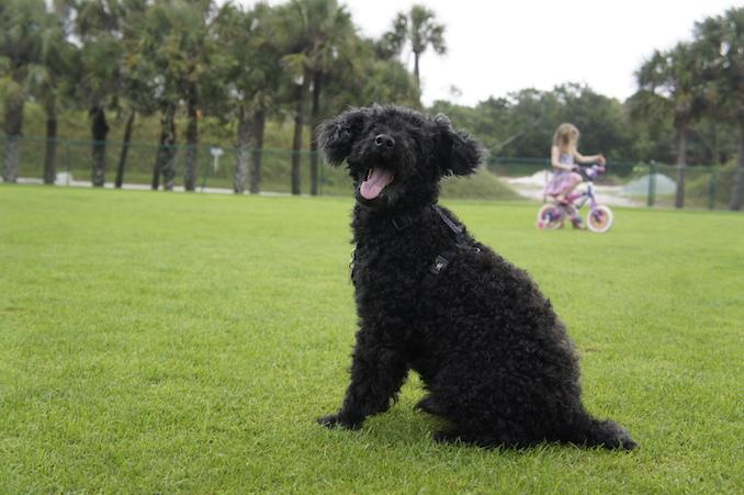 My photogenic poodle