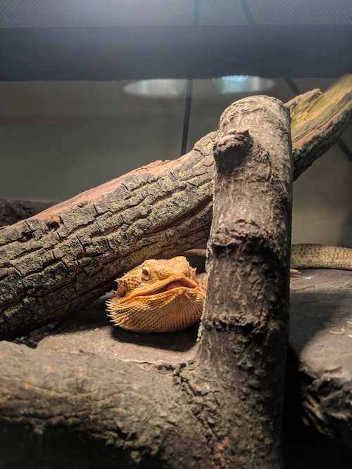 I really love reptiles for their unique physiology and interesting behaviour… Here is my lovely bearded dragon, Pumpkin.