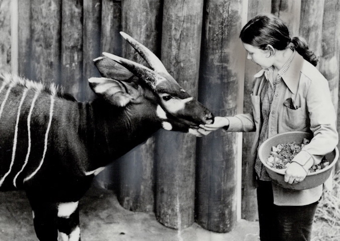 1974 - Bingo the antelope; gets a handout from animal keeper Janice LaTrobe. Part of her job now is releasing caged animals into the natural habitat
