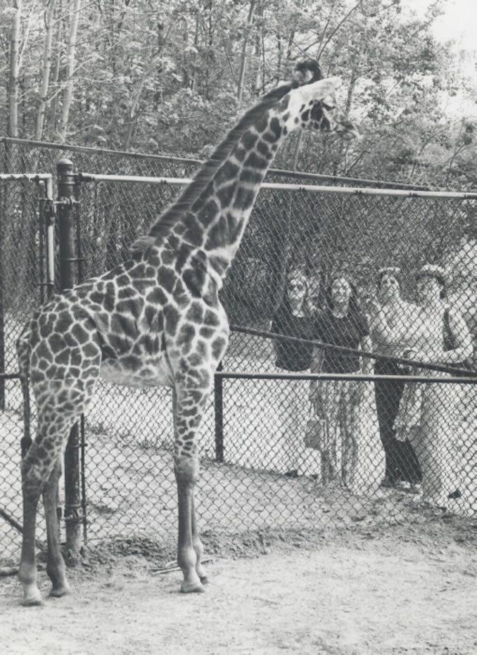 1974 - Giraffe