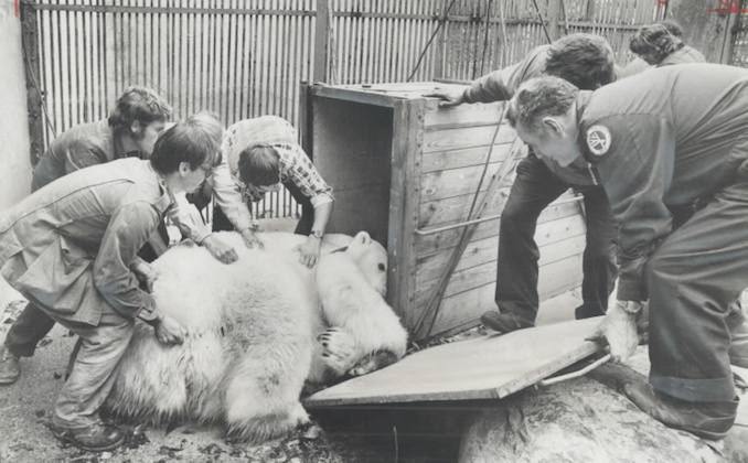1974 - Mr. Pooh; the 5-year-old polar bear at the Riverdale Zoo was reluctant to leave for his new home in the Metro Zoo yesterday.