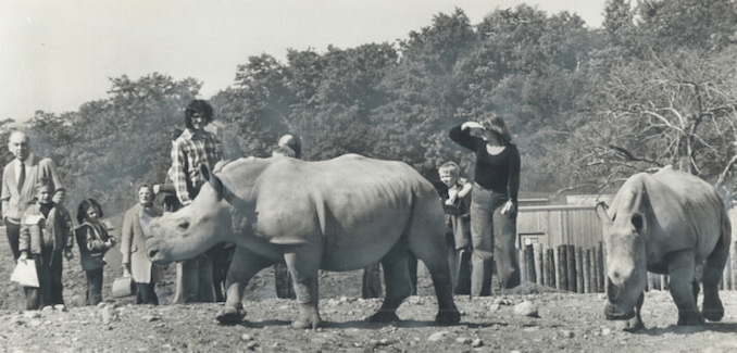 1974 - One of the daring pranks young visitors to the zoo have been guilty of is jumping down or walking around a four-foot deep moat into the rhinoceros enclosure.