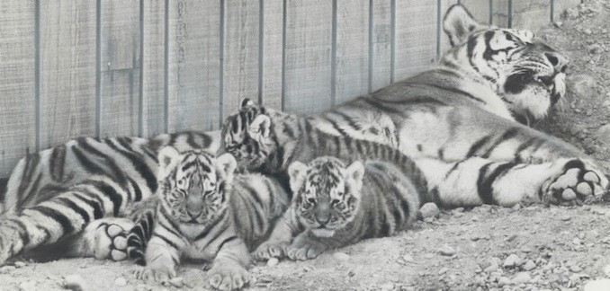 1974 - mother; Pjasina; lay down with three of the four in a holding pen. She is one of the first Siberian tigers ever to give birth in Canada