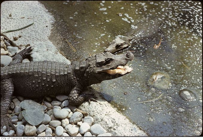 1975 - May - Alligator, Metro Toronto Zoo