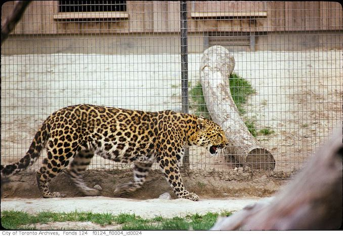 1975 - May - Chinese leopard, Metro Toronto Zoo
